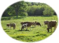Cows_tullahoma_locally_grown