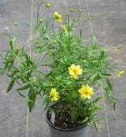 Coreopsis_tall_img_1128